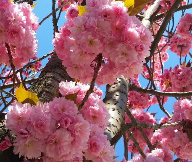 Cherry Blossom Bonn Heer Road Cherry Summer Spring