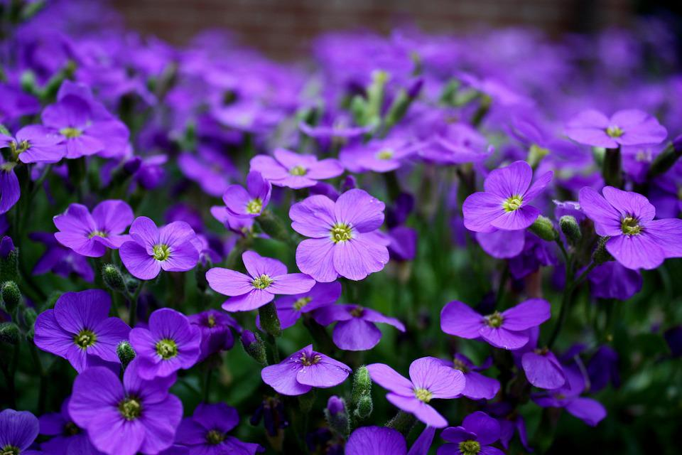 Free photo Close Purple Purple Flower Flowers Ground Cover   Max Pixel Flowers  Purple  Ground Cover  Close  Purple Flower
