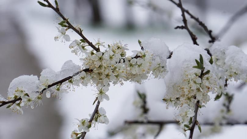 Free photo Flower Flowers Winter Spring Winter Blast Snow   Max Pixel Winter Blast  Flowers  Winter  Spring  Snow  Flower
