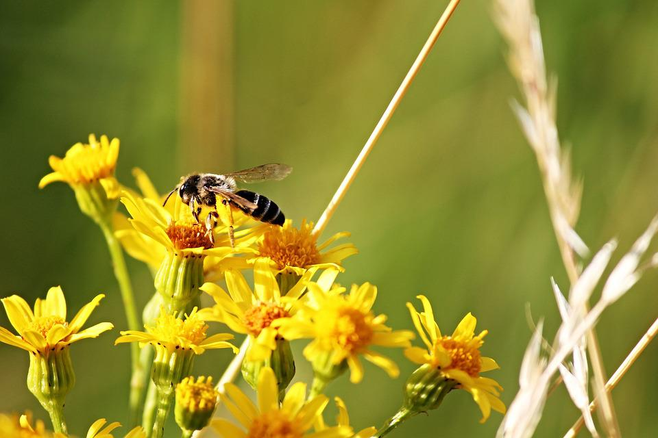 Free photo Insect Yellow Sit Nectar Sprinkle Flowers Bee   Max Pixel Bee  Flowers  Yellow  Sit  Sprinkle  Nectar  Insect