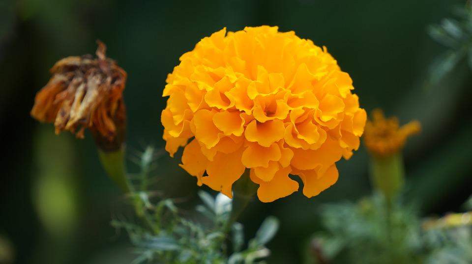 Free photo Kind Of Wood Yellow Flowers Flowers Marigold Flower   Max     Marigold Flower  Flowers  Yellow Flowers  Kind Of Wood