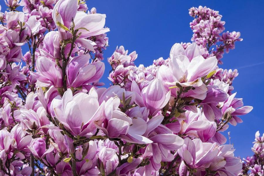 Free photo Magnolia Blossom Bl    tenmeer Flowers Magnolia Pink   Max Pixel Magnolia  Flowers  Pink  Magnolia Blossom  Bl    tenmeer