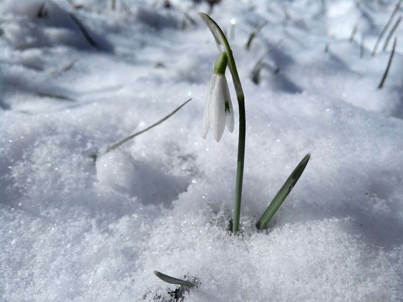 Free photo March Flowers Spring Snow White Snowdrops Greens   Max Pixel Snowdrops  Flowers  Snow  White  Greens  Spring  March