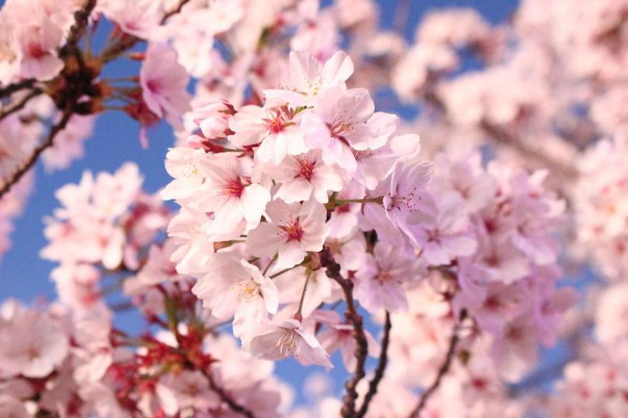 Free photo Nature Flowers Quarter Cherry Tree Cherry Blossom   Max Pixel Cherry Blossom  Flowers  Cherry Tree  Quarter  Nature