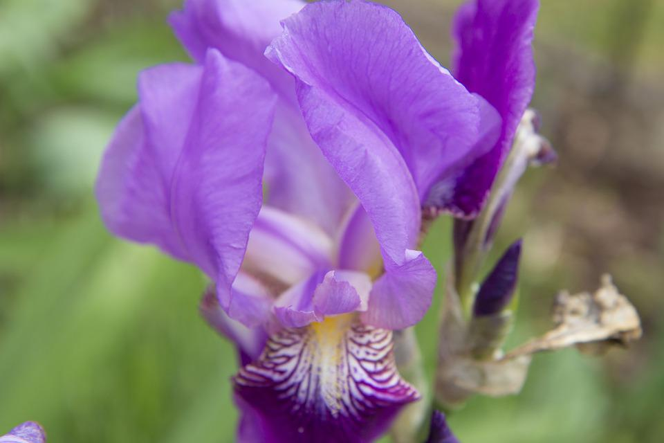 Free photo Plant Flowering Flowers Iris Purple Flower Garden   Max Pixel Iris  Flower  Garden  Purple  Plant  Flowers  Flowering