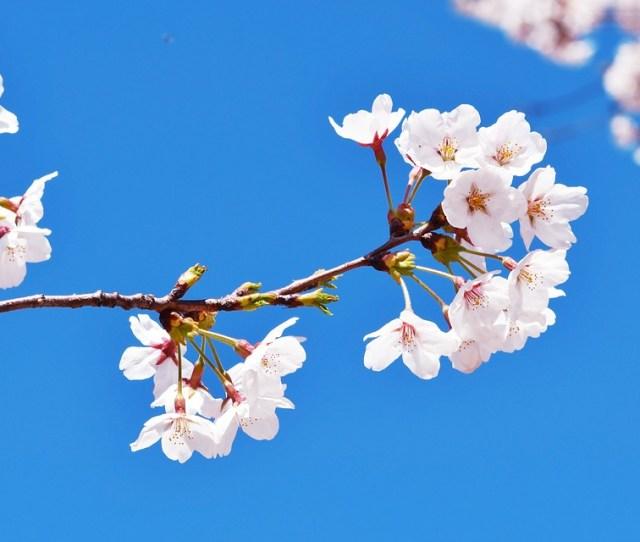 Republic Of Korea Seoul Anyangcheon Cherry Blossom
