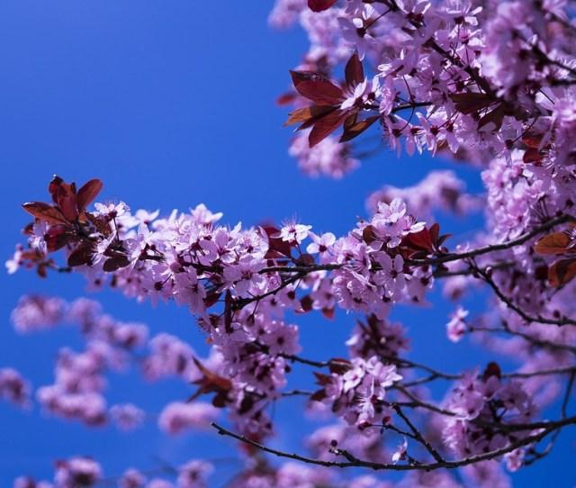 Japanese Cherry Flowers Pink Spring Cherry Blossom