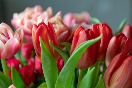 Free photo Tulip Tulips Flower - Max Pixel