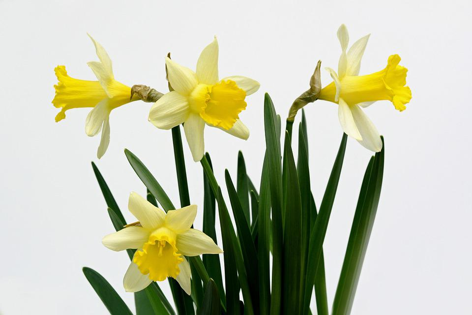 Free photo Yellow Daffodils Flowers Spring Daffodil   Max Pixel Daffodils  Flowers  Yellow  Spring  Daffodil