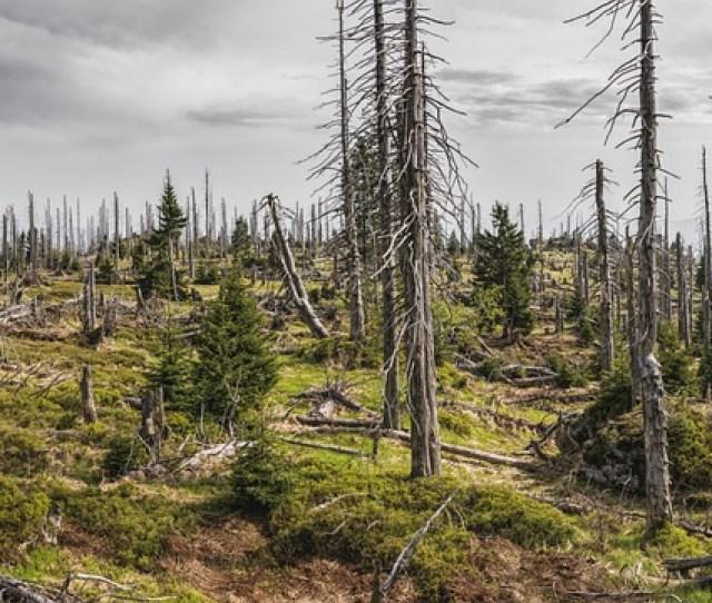 Bavarian Forest Bavaria Trees Bark Beetles