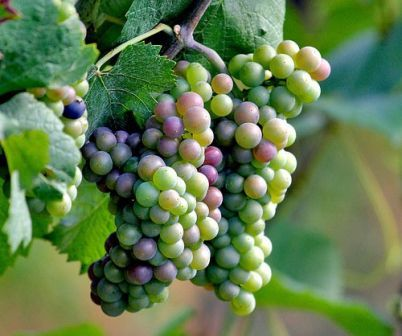 Image result for fruit of the vine