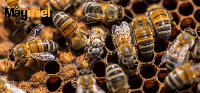 comment les abeilles se reproduisent elles maymiel. Black Bedroom Furniture Sets. Home Design Ideas