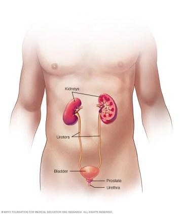 Aparato urinario masculino