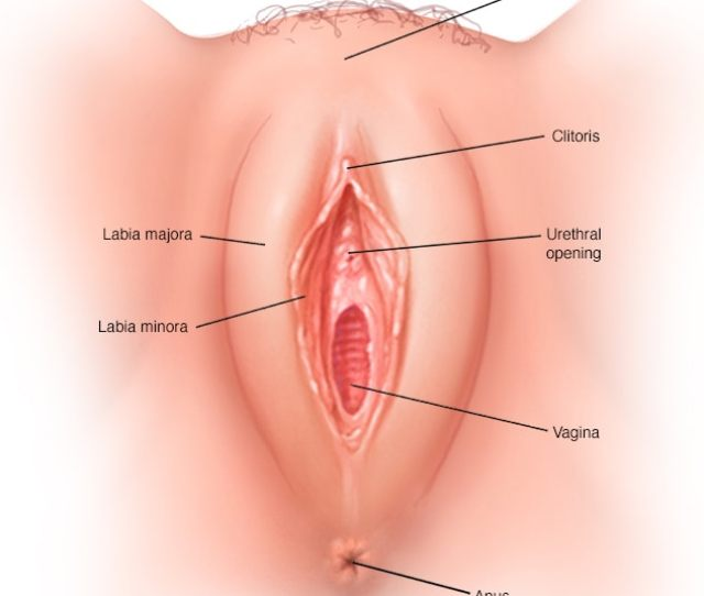 The Vagina Is A Closed Muscular Canal That Extends From The Vulva The Outside Of The Female Genital Area To The Neck Of The Uterus Cervix
