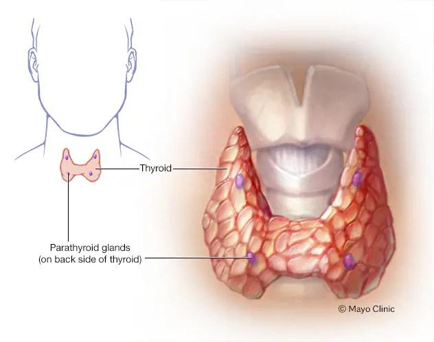 Illustration showing parathyroid glands