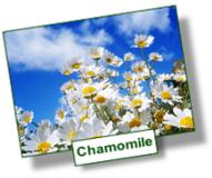 chamomile chamomilla remedy