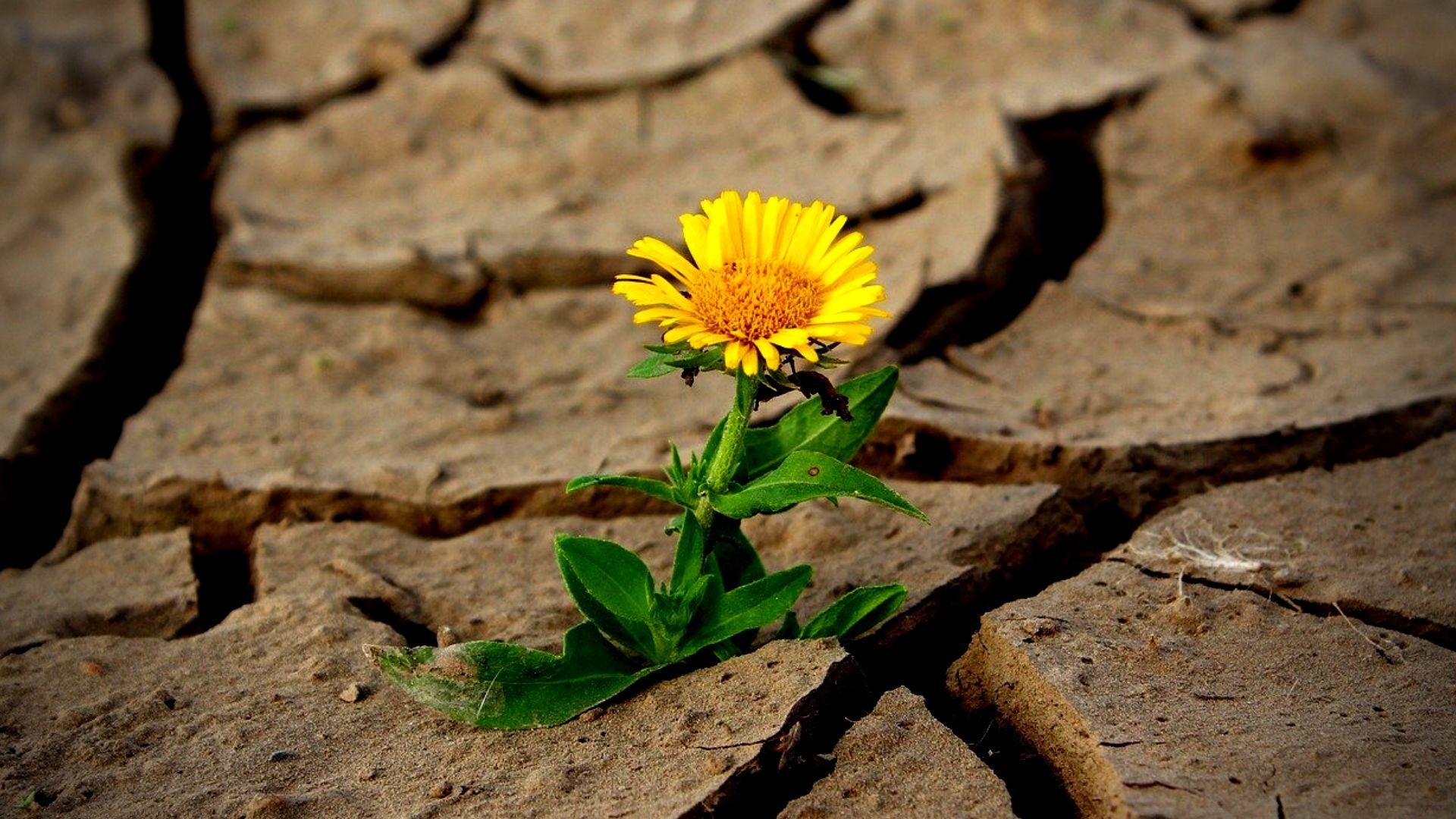 Resiliencia, en imagen, una margarita florece en una tierra cuarteada