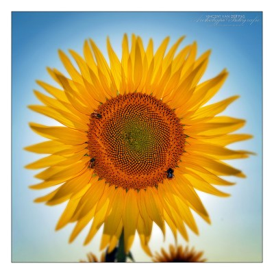 Sunflower by Vincent_AF