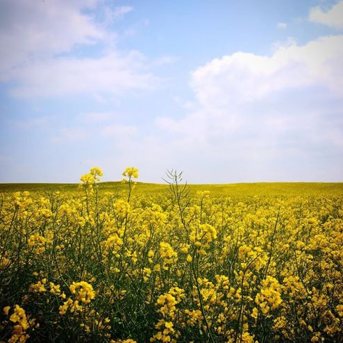 french flowers in a field, springtime yellow blossoms, france imagery, photos of normandy