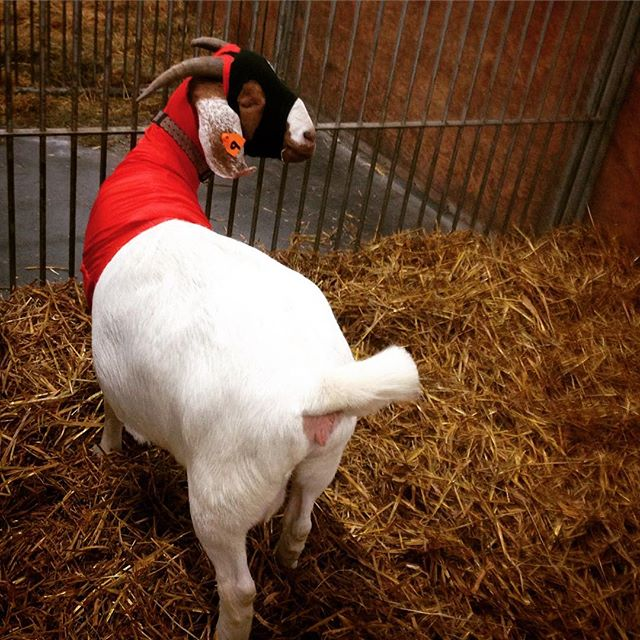 The hero we want *and* the hero we need. With the Caped Caprine watching over us, here's to a better 2018. #goat #goats #happynewyear #2018 #superheroes #cape #royalwinterfair #red #white