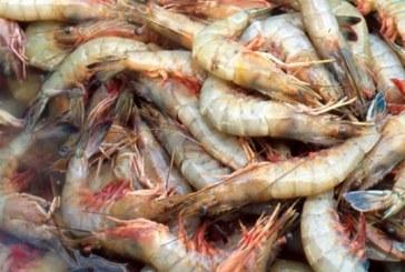 Otorgarían la certificación de sustentabilidad al camarón sinaloense