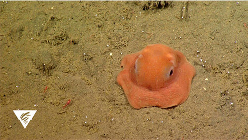 Finding Opisthoteuthis Mbari