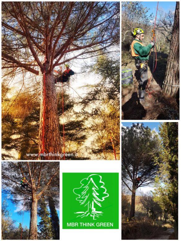 Potutura Pinus pinea