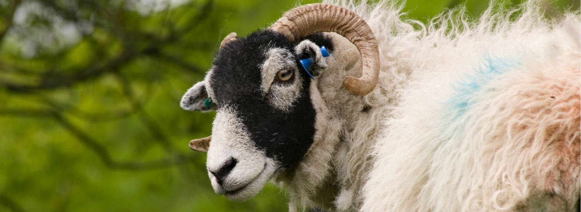 Sheep Rustling Incidents Spike In North Yorkshire