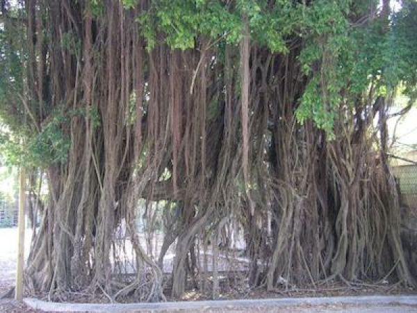 South Florida banyan tree along Old Cutler Ridge Road