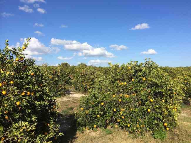citrus grove, southwest Florida