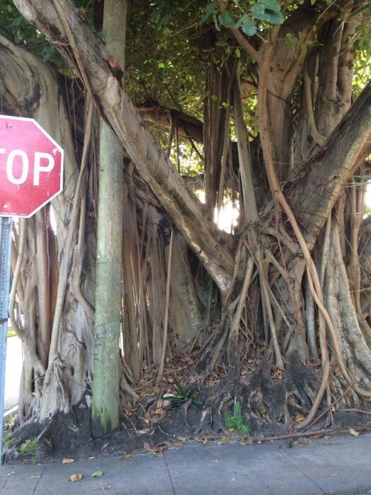 Quirky South Florida: banyan tree