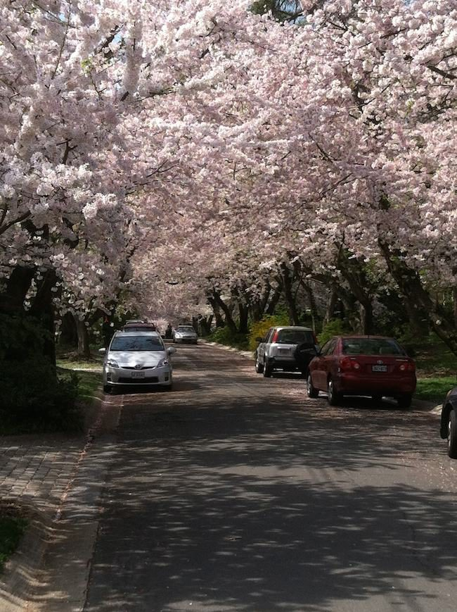 Canopy of cherry trees