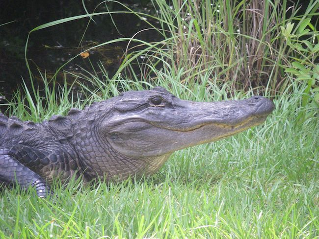 wild alligator at Okefenokee Swamp