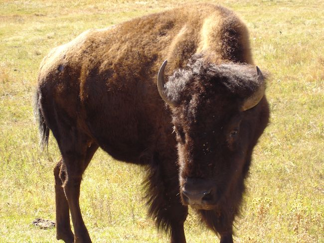American Bison (buffalo) in grass field at Custer State Park