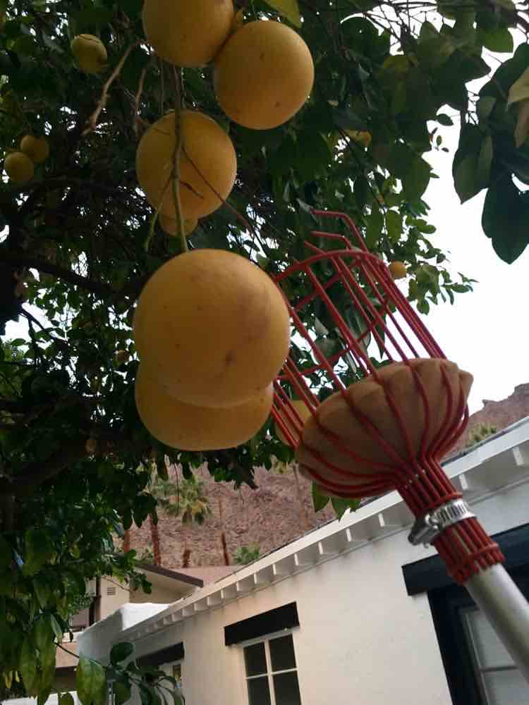 grapefruit picker from Palm Springs tree