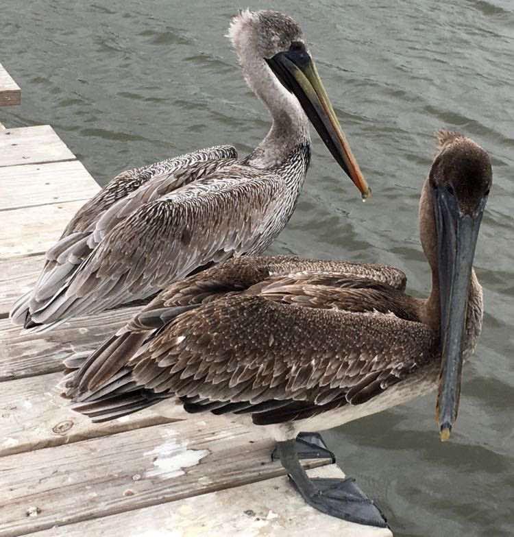 picture of two pelicans in Fernandina Beach FL