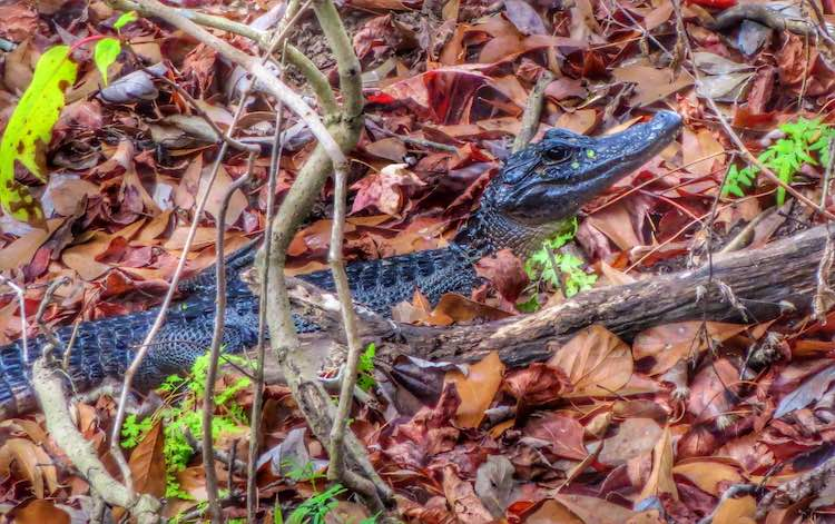 baby alligator is colorful leaves