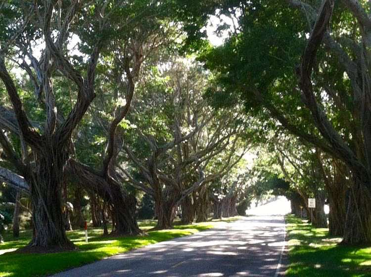 tunnel of trees in South Florida