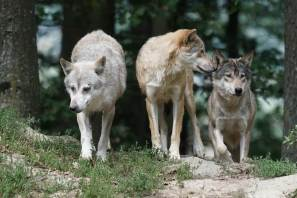 timber-wolves-907680_960_720