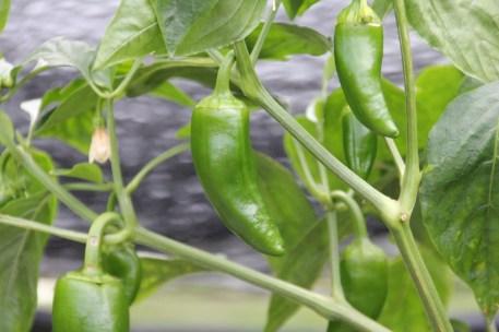 Jalapeño peppers