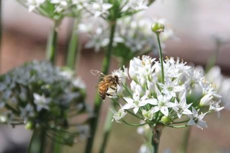 Garlic flowers & bee