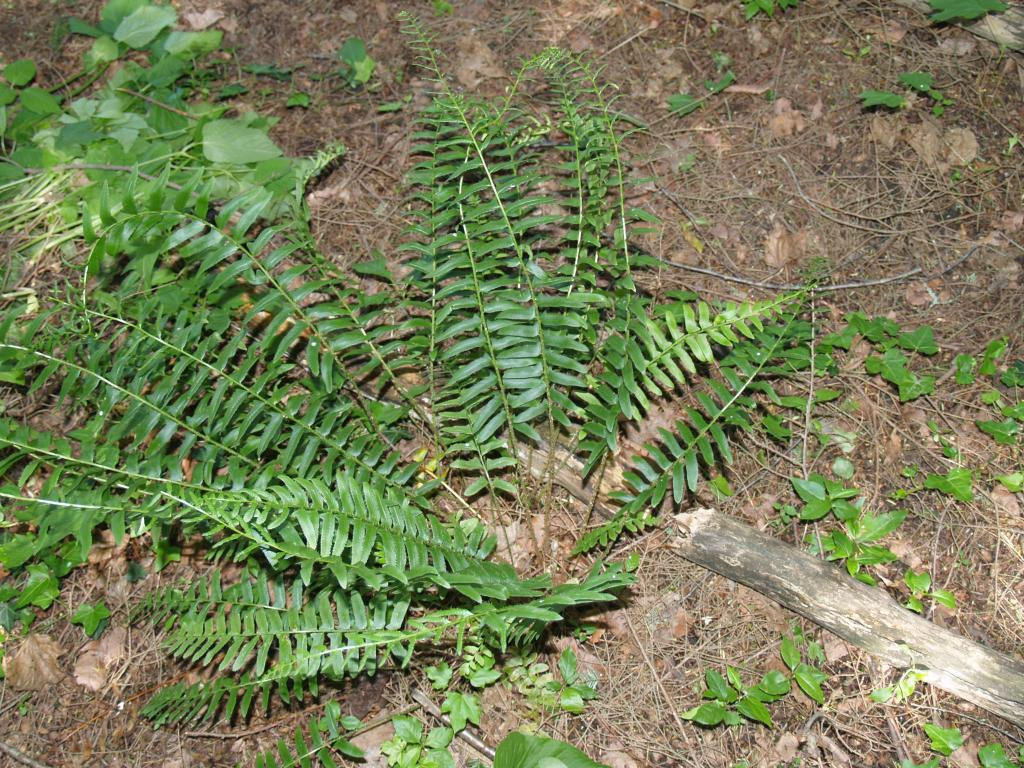 Picture of Christmas Fern (Polystichum acrostichoides)