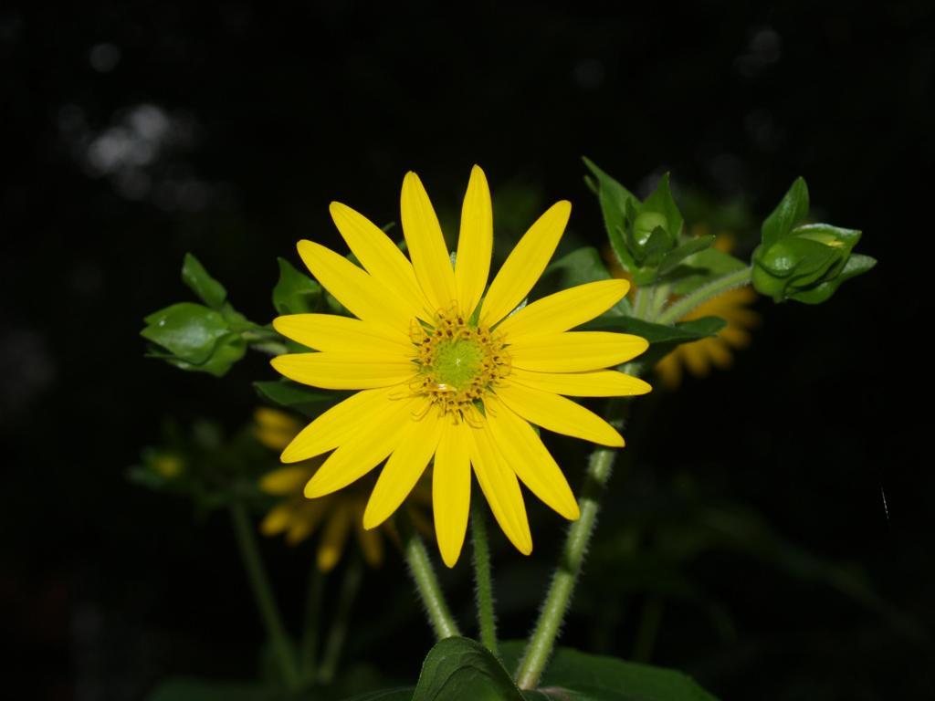 Picture of Yellow Cup (Silphium perfoliatum)