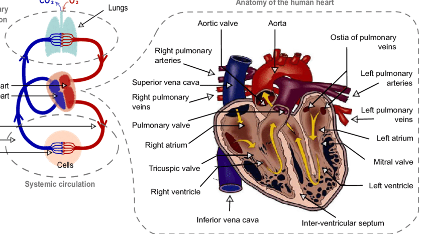 Human blood circulatory System