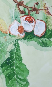 Horse Chestnuts or Conkers