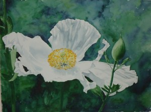 A water colour painting of a white poppy by Keith Cains.