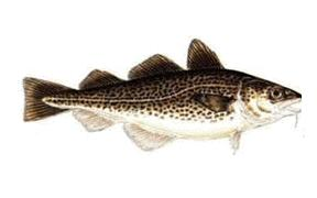 11 - Codfish