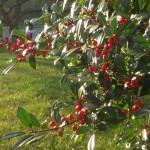 December-hollys