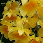 yellow_orchids
