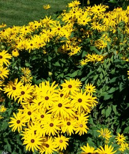 black-eyed susans_cropped